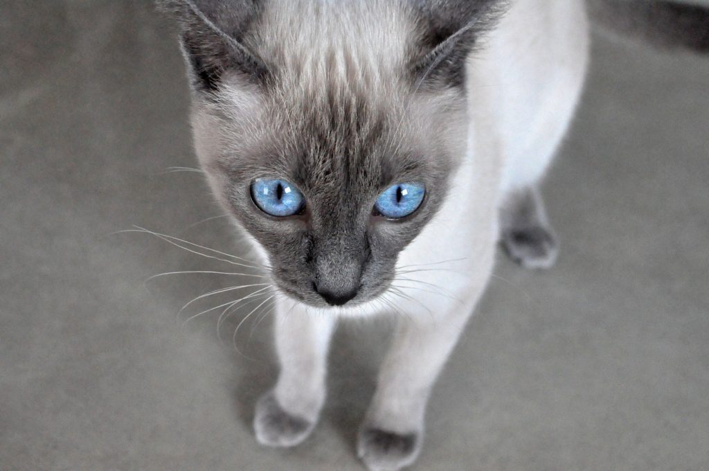 Pure Bluepl Hodowla Kotów Tajskich Z Konina